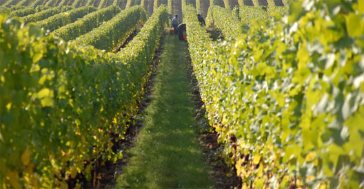 Walk through vineyard